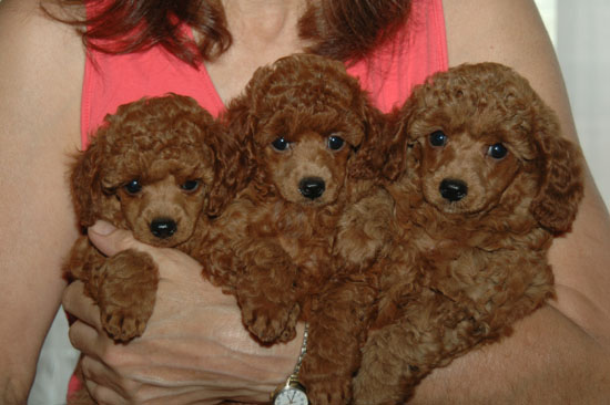 Henny's red puppies