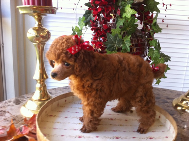 "One of Henny's sold puppies ""Little Red Beau"""