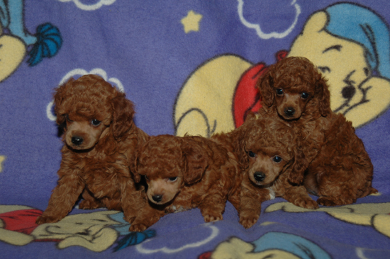 A recent litter of Red puppies.
